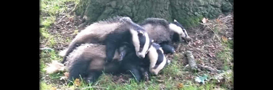 3-wilts-badgers